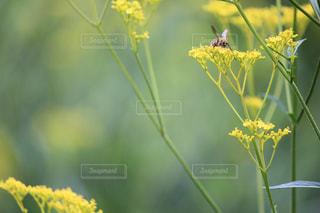 自然,花,植物,黄色,庭園,蜂,東京都,イエロー,カラー,色,黄,yellow,オミナエシ
