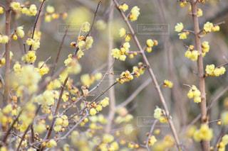春のプレリュードの写真・画像素材[1837456]