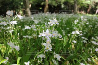 新緑に映えるシャガの花の写真・画像素材[1885320]