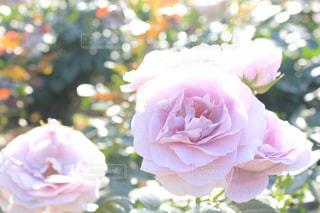 柔らかなピンクの輝きの写真・画像素材[1885774]