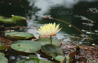 睡蓮、一輪の写真・画像素材[1993381]