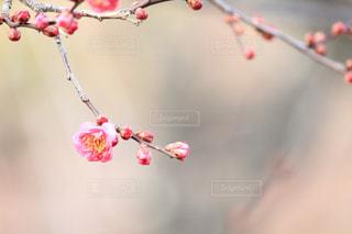紅梅の写真・画像素材[2012685]