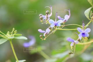 小さな青い花の写真・画像素材[2013111]