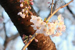 練馬の桜の写真・画像素材[2018023]