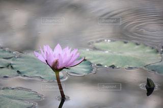 水面に咲く睡蓮の写真・画像素材[2038877]