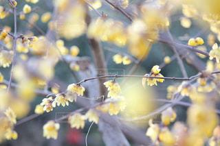 咲き誇る蝋梅の写真・画像素材[2038904]