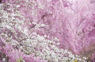満開枝垂れ桜の写真・画像素材[1792463]
