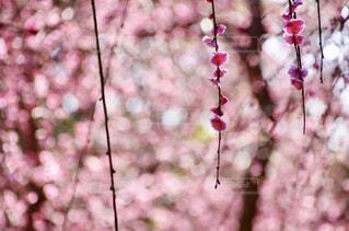 かわいい梅の写真・画像素材[1792849]