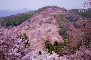 千本桜の写真・画像素材[1793799]