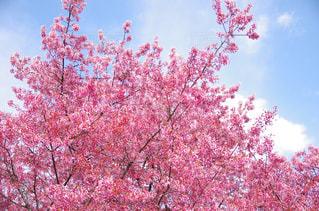ピンクの花の木の写真・画像素材[1832941]