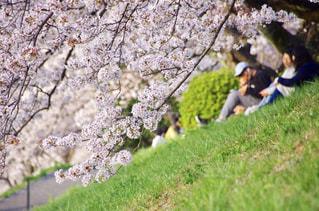 自然,風景,花,春,桜,京都,ピンク,花見,景色,お花見,人,河川敷,鴨川,日中,穏やか,フォトジェニック