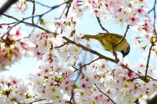 すずめと桜の写真・画像素材[1832949]