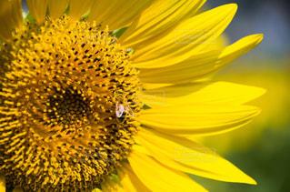 自然,風景,空,花,夏,ひまわり,青空,黄色,景色,ミツバチ,ハチ,日中,フォトジェニック