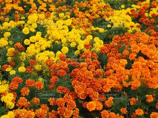 自然,風景,花,カラフル,黄色,景色,鮮やか,オレンジ,ミモザ,イエロー,日中,フォトジェニック