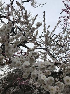 白,満開,お花見,お祭り,梅まつり