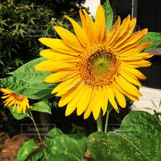 花,ひまわり,黄色,イエロー,色,黄,yellow
