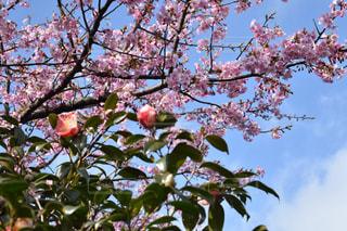 花,春,桜,花見,椿,お花見,伊豆大島