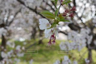 公園,花,春,桜,花見,お花見