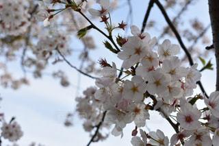 公園,花,春,桜,屋外,花見,お花見