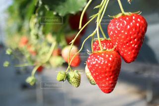 食べ物,苺,フルーツ,果物,フレッシュ,苺狩り