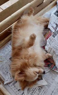 犬,白,茶色,昼寝,ペット,いぬ,ベージュ,眠い,白色,おやすみ,イヌ,ミルクティー色