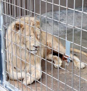 茶色,昼寝,ベージュ,眠い,おやすみ,ライオン,百獣の王,ミルクティー色