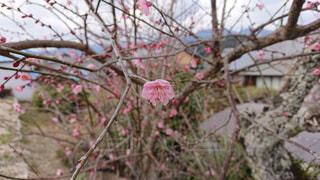 三重県美里町の梅の写真・画像素材[1791178]