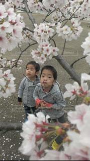 薄ピンクの桜吹雪の写真・画像素材[1791243]