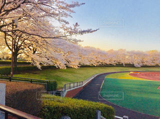 自然,風景,空,公園,春,夕日,桜,屋外,綺麗,散歩,樹木