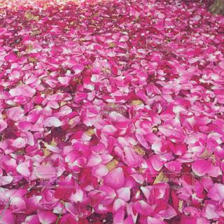 一面の薔薇の花びらの写真・画像素材[1799781]