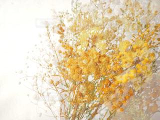 黄色のドライフラワーの写真・画像素材[1827573]