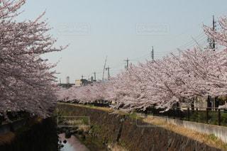 春,桜,桜並木,お花見,さくら,7dmk2