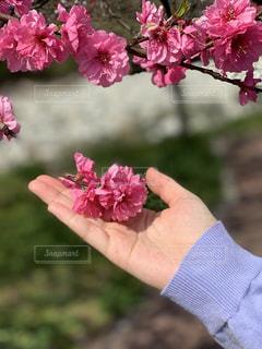 花桃と女性の写真・画像素材[2121331]