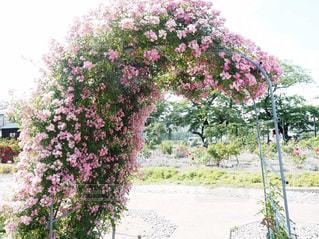 薔薇のトンネルの写真・画像素材[1790792]