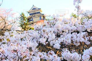 桜の写真・画像素材[1790796]