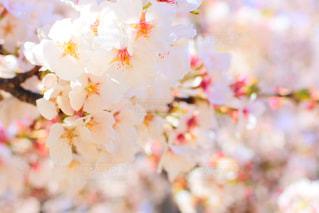 桜の写真・画像素材[1790933]
