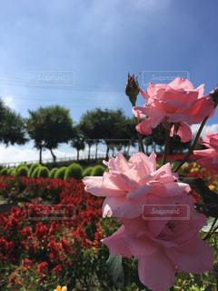 ピンクの花の写真・画像素材[1799350]