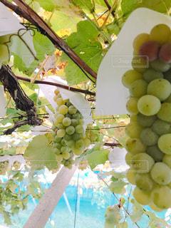 緑,フルーツ,果物,葡萄,新鮮,マスカット,ぶどう,ブドウ狩り,鈴なり