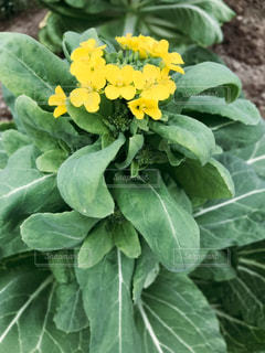 花,春,緑,綺麗,黄色,菜の花,鮮やか,癒し,イエロー,黄,草木
