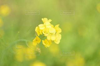 花,春,黄色,菜の花,ビタミンカラー