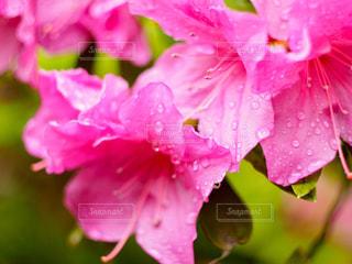 自然,風景,花,雨,ピンク,水滴,olympus,雫,思い出,お散歩,しずく,つつじ,フォトジェニック,miiko