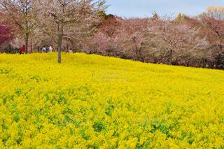 花,桜,菜の花,群馬県,千本桜