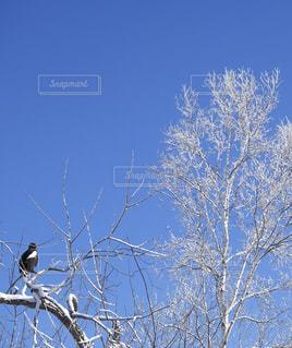 白樺とオオワシの写真・画像素材[1733977]