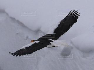 雪の中を飛んでいるオオワシの写真・画像素材[1734008]