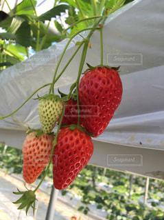 いちご,苺,フルーツ,果物,果実,いちご狩り,草木,イチゴ,ガーデン