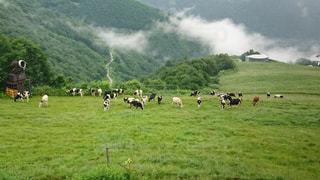 牛の群れの写真・画像素材[1404428]