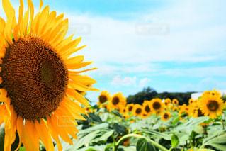 花,夏,黄色,向日葵,ひまわり畑,きいろ,ヒマワリ,ヒマワリ畑
