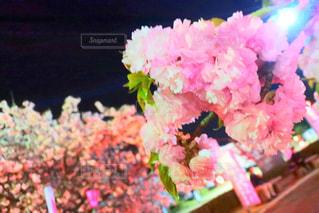 花,春,桜,ピンク,夜桜,お花,お花見,ライトアップ,ブロッサム,blossom,牡丹桜,ぼたん桜