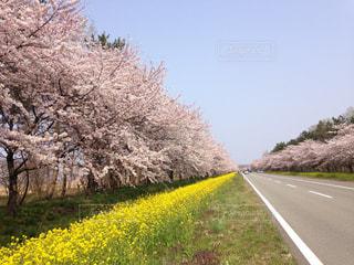 桜が満開の菜の花ロードの写真・画像素材[1045726]