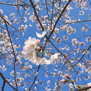 桜の写真・画像素材[1107167]